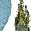Chaetomitrium vrieseanum Bosch & ...