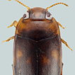 Discovery of the Australian diving beetle ...