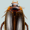 New records of the diving beetle Rhantus ...