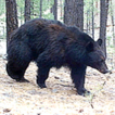 Medium-sized and large mammals of the ...