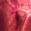 A new record of Ascidiella scabra (Müller, ...
