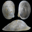 First report of the freshwater gastropod ...