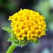 Bidens L. (Coreopsideae, Asteraceae), ...