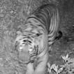 First record of Bengal Tiger, Panthera ...