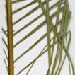 Occurrence of Euterpe edulis Mart. (Arecaceae) ...