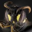 First record of Hylaeus pictipes Nylander, ...