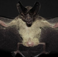 New records of Pygmy Round-eared Bat, Lophostoma brasiliense Peters, 1867 (Chiroptera, Phyllostomidae), and updated distribution in Colombia